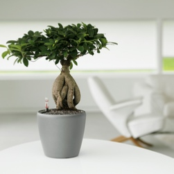 office-plants-london-bonsai